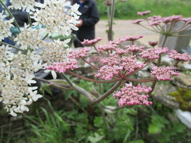 I know they are Umbellifers but not sure what this pink one is