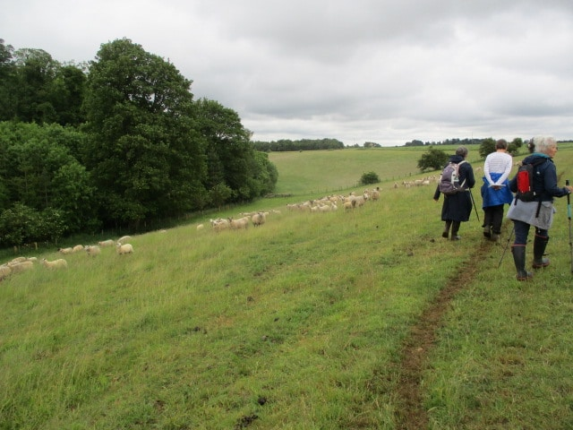 Lots of sheep in this field