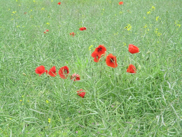 Poppies in the oil seed rape
