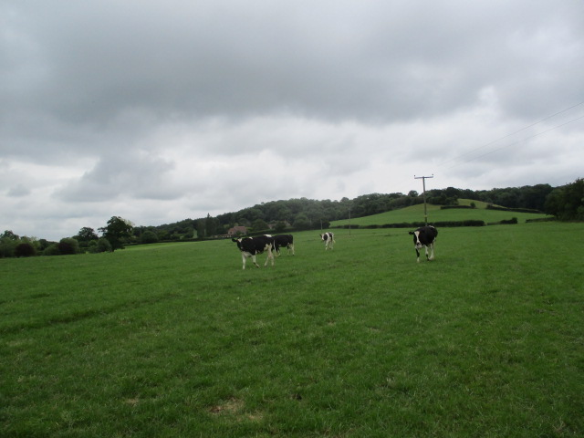 On the walkover there were loads of young cattle