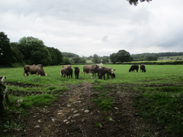 More cattle
