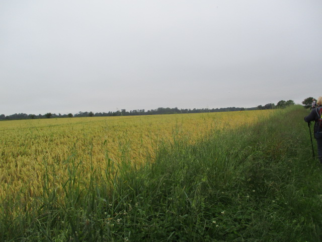 Fields now looking yellowish instead of the bright green of a week ago