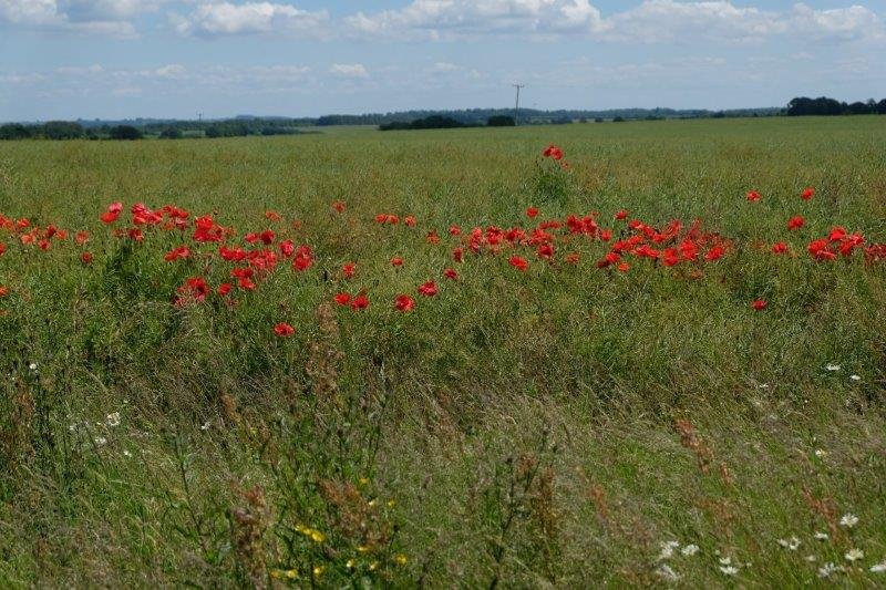 A fine display of poppies