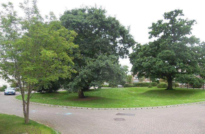 Some wonderful oak trees