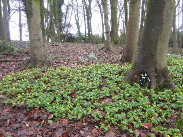 Aconites are a woodland flower and belong to the Ranunculaceae family