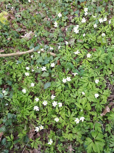 We are very lucky to be able to walk from the bungalow up a short path behind houses and into fields with many paths. Saw pretty anenomes, celandine and first wild garlic. No one told them not to come out!!!