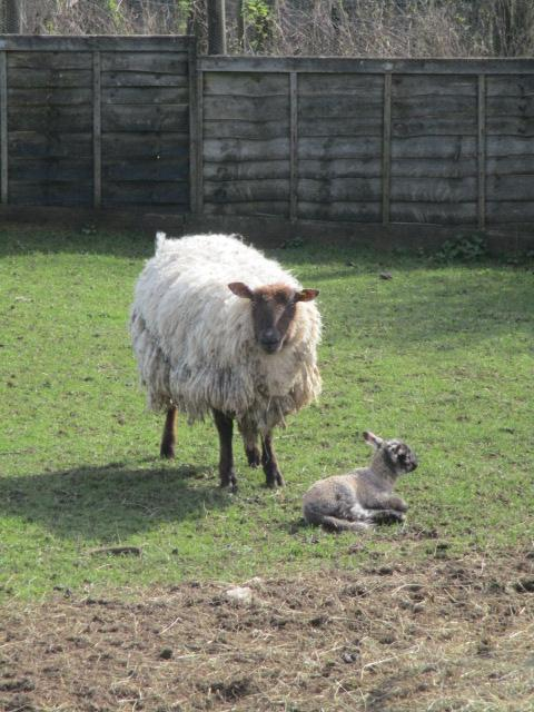 Lamb born yesterday, we're told (at a distance)