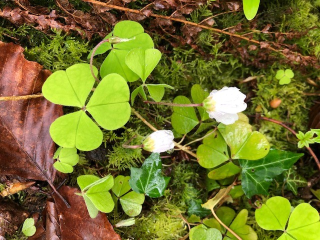 Wood Sorrel, my friend asked if there was any about. We found it and I wondered why she was asking. I found this,  https://www.wildfooduk.com/edible-wild-plants/wood-sorrel/ Leaves and flowers are apparently good in salads and drinks. It has a sharp and sour lemony taste, a useful tip for your Gin and Tonics in lockdown.