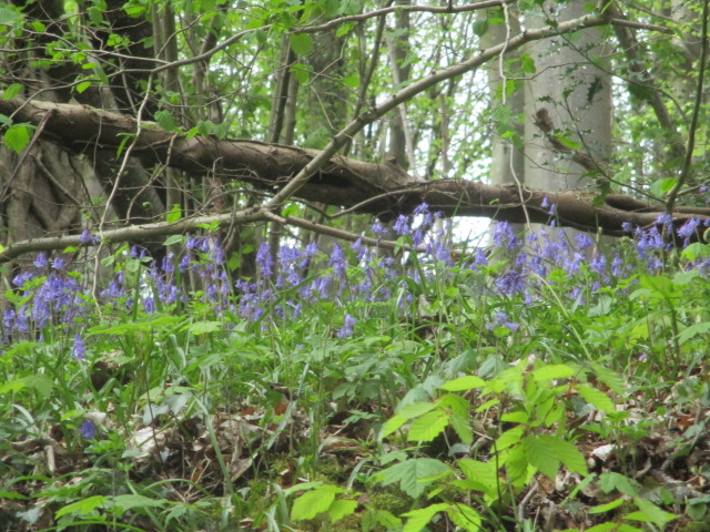 View of bluebells from the sunken lane