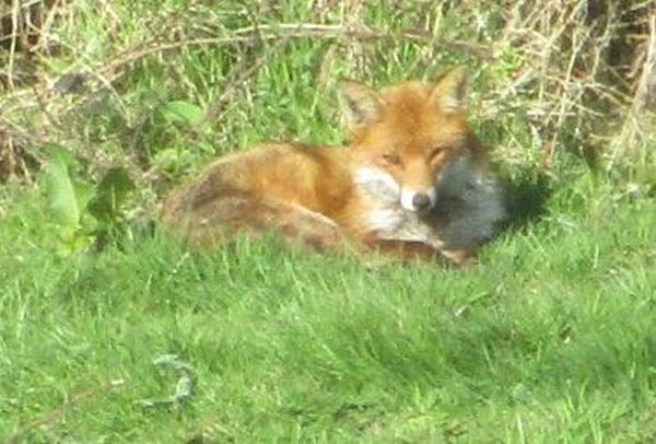 We spot a young fox resting in the sun