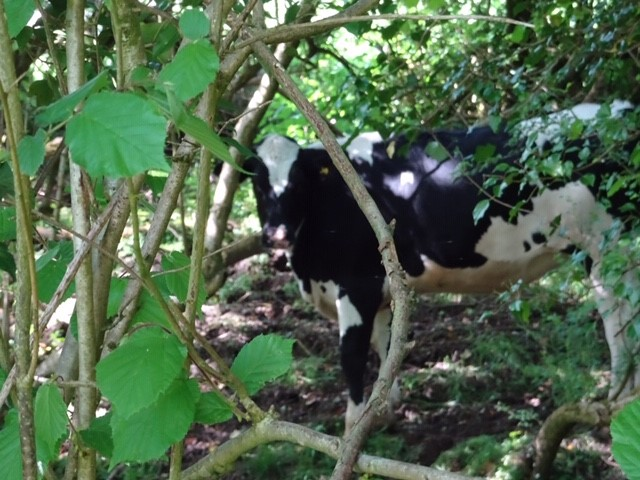 We head down the Miry valley where young cattle lurk in the undergrowth