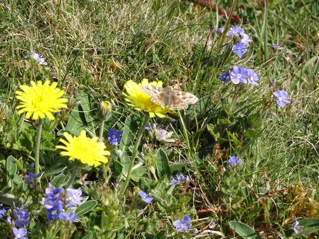 The warden was out looking for Dingy Skipper butterflies and we think this is one