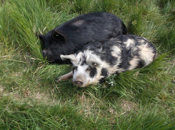 Some local piggies