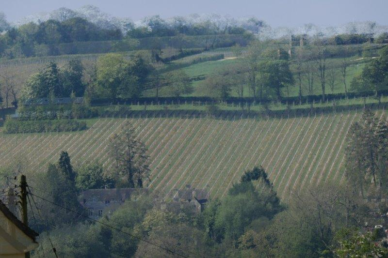 A vineyard across the valley