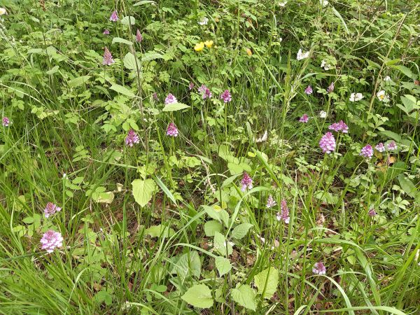 Lots of Pyramidal orchids at Cranham