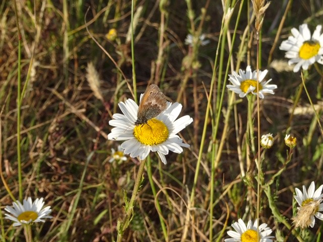 Through Coaley Wood up onto Uley Bury where this Small Heath Butterfly was on the Moon Daisy