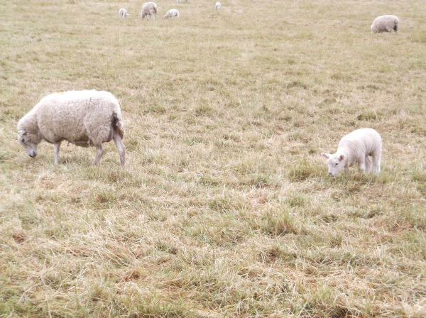Some local sheep munching on the sorry looking brown grass.