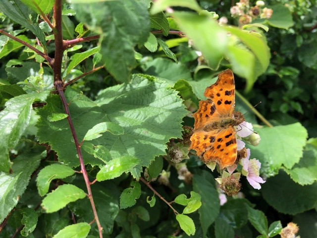Comma butterfly posses on the bramble